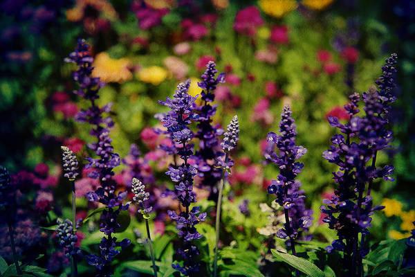 Photograph - Lavender by Milena Ilieva