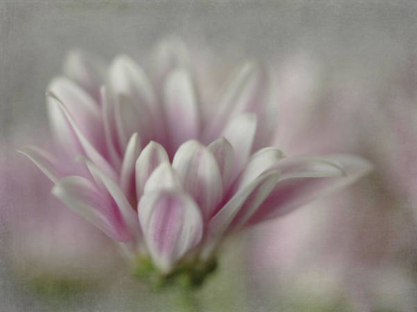 Photograph - Lavender Mini Mum by Teresa Wilson