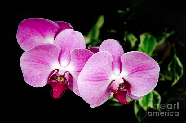 Photograph - Lavender Orchids  by Andee Design