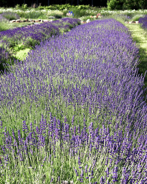 Photograph - Lavender by Rod Best