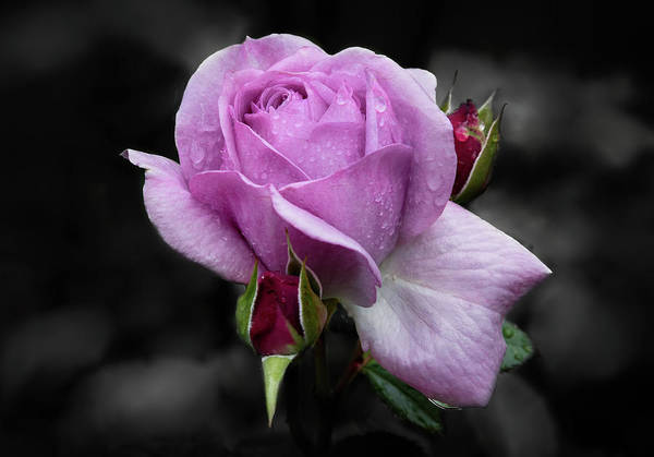 Photograph - Lavender Rose by Harold Coleman