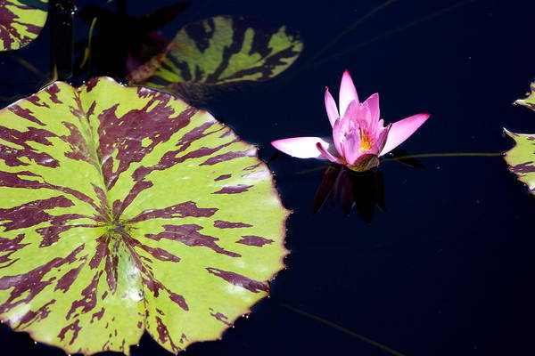 Photograph - Lavender Rose Waterlily In Blue Charcoal Waters by Colleen Cornelius