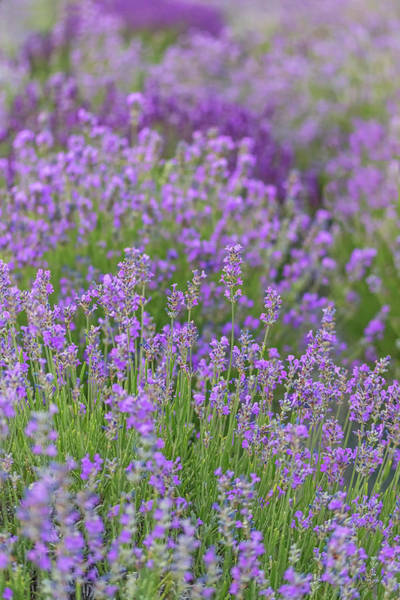 Photograph - Lavender Row by Kristen Wilkinson