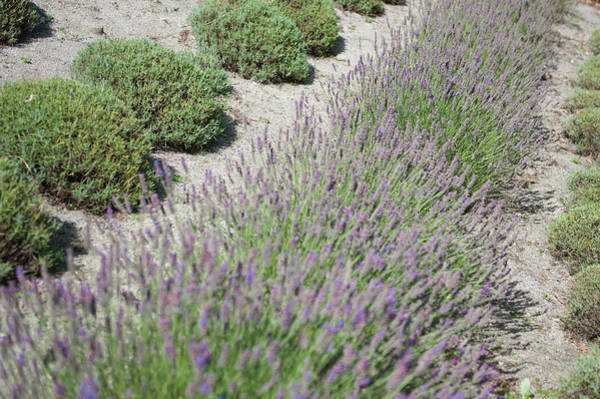 Photograph - Lavender Row No. 1 by Helen Northcott