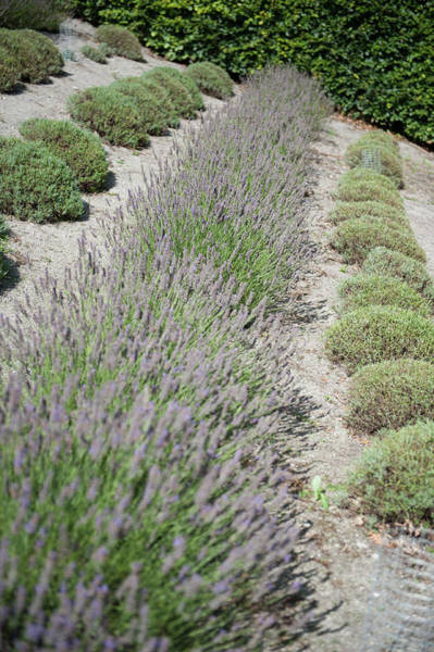Photograph - Lavender Row No. 2 by Helen Northcott