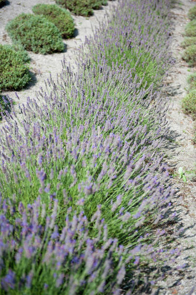 Photograph - Lavender Row No. 3 by Helen Northcott