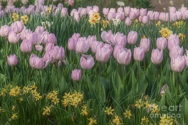Photograph - Lavender Tulips by Elaine Teague