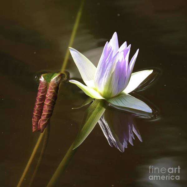 Wall Art - Photograph - Lavender Water Lily With Leaf by Carol Groenen