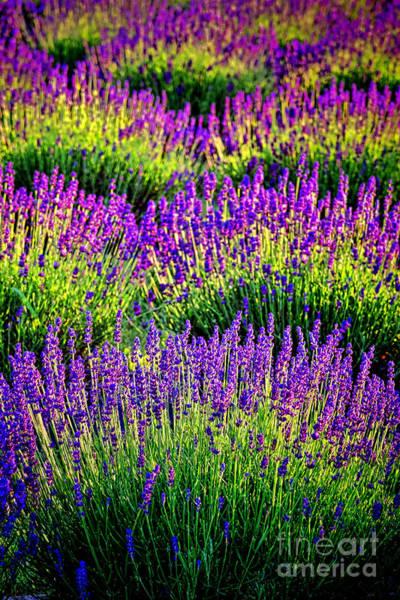 Photograph - Lavenderous Harmony by Olivier Le Queinec
