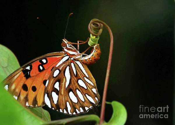 Passion Butterfly Photograph - Laying Eggs by Sabrina L Ryan