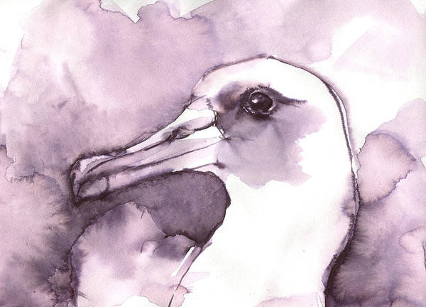 Drawing - Laysan Albatross by Abby McBride