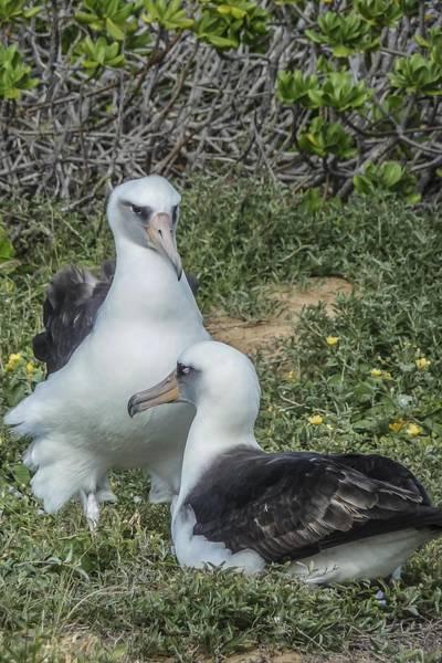 Ohau Wall Art - Photograph - Laysan Albatross Hawaii by NaturesPix