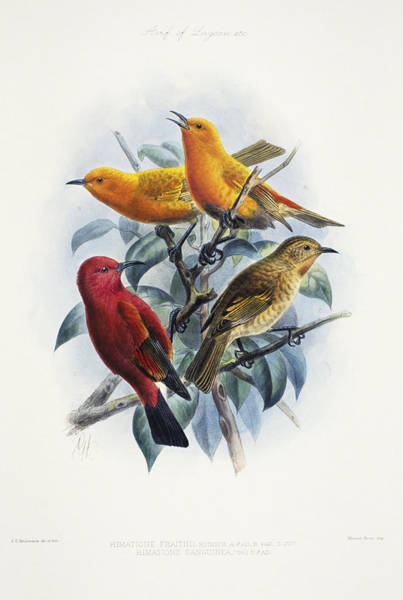Archival Painting - Laysan Honeycreeper by Reggie David - Printscapes