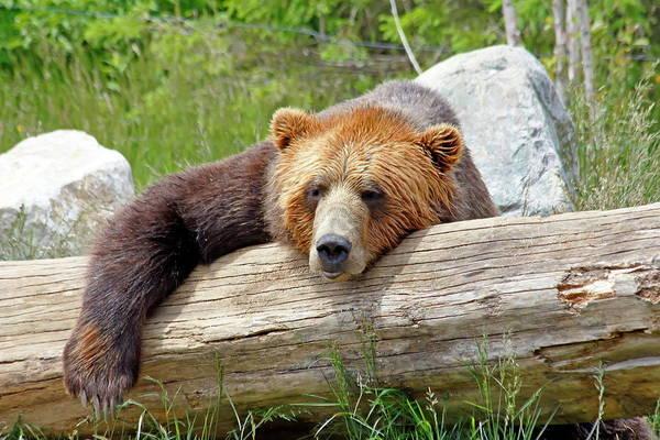 Nfs Photograph - Lazy Brown Bear by Daniel Caracappa