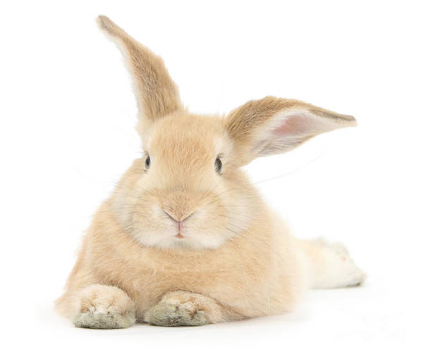Photograph - Lazy Bunny by Warren Photographic