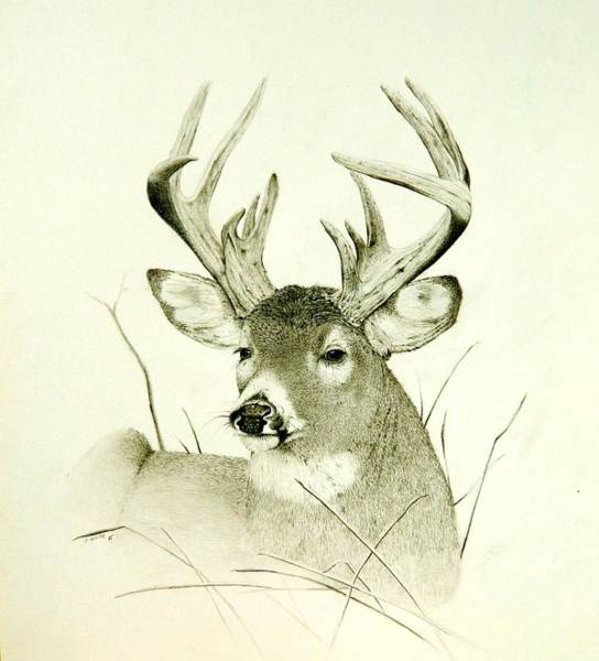 Whitetail Drawing - Lazy Day by Stan White