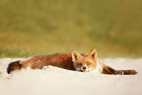 Chilling Photograph - Lazy Fox Is Lazy II by Roeselien Raimond