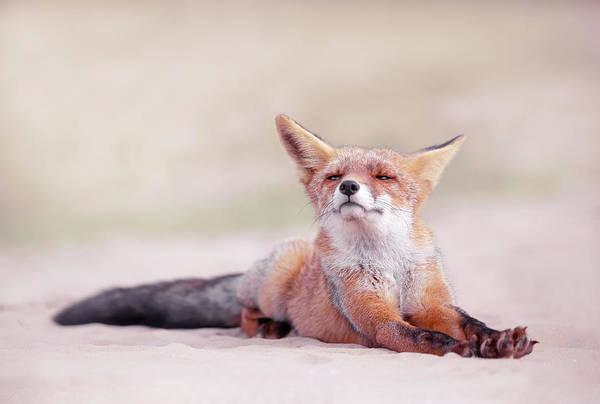 Wall Art - Photograph - Lazy Fox Series - One Lazy Fox by Roeselien Raimond