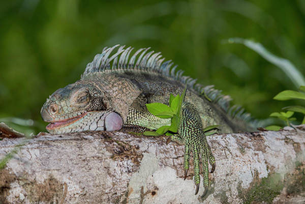 Photograph - Lazy Iguana by Rachel Lee Young