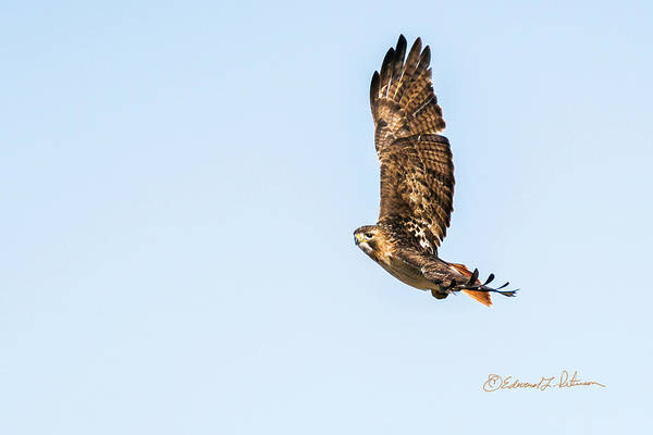 Photograph - Lazy Turn Of A Red-tail Hawk by Edward Peterson