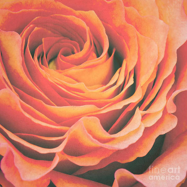Rose Wall Art - Photograph - Le Petale De Rose by Angela Doelling AD DESIGN Photo and PhotoArt