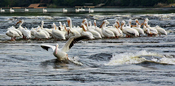 Photograph - Leading Pelican by Tatiana Travelways