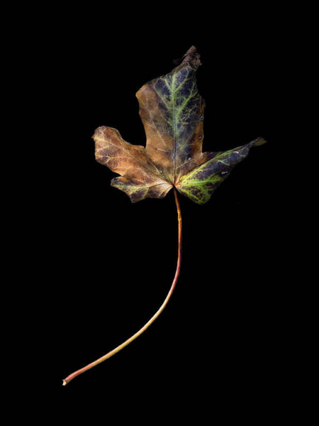 Photograph - Leaf 1 by David J Bookbinder
