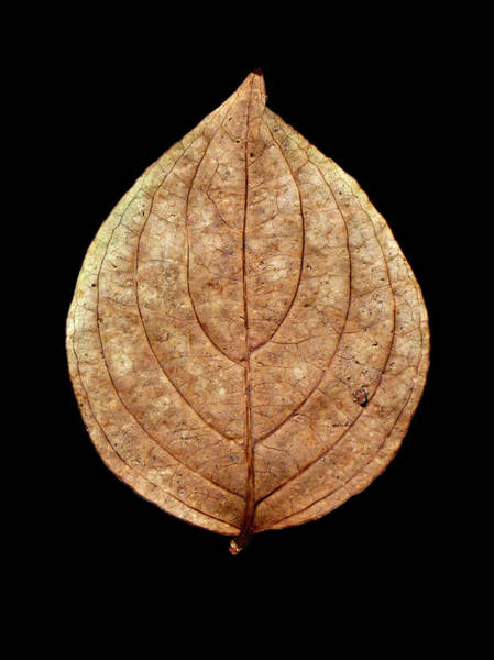 Photograph - Leaf 12 by David J Bookbinder