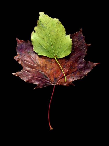 Photograph - Leaf 15 by David J Bookbinder