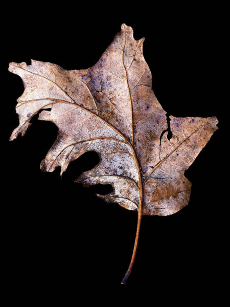 Photograph - Leaf 2 by David J Bookbinder