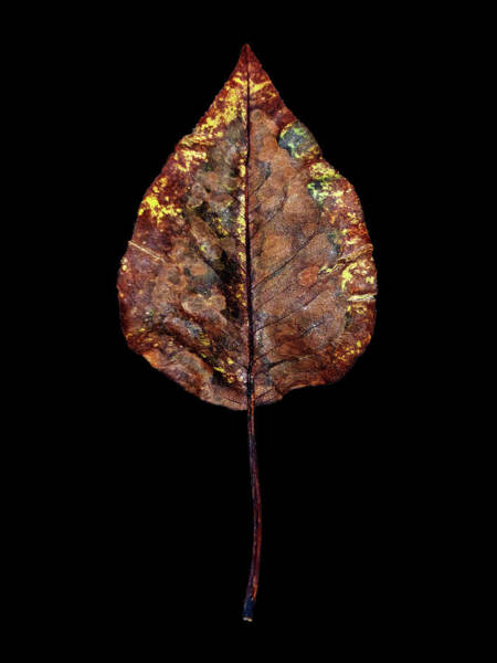 Photograph - Leaf 21 by David J Bookbinder