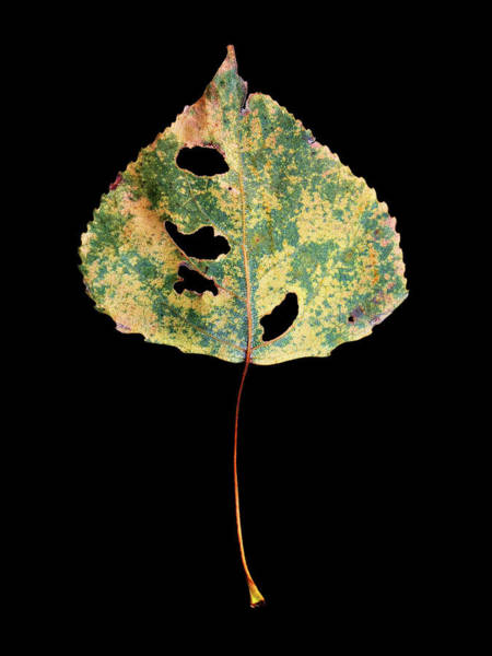 Photograph - Leaf 25 by David J Bookbinder