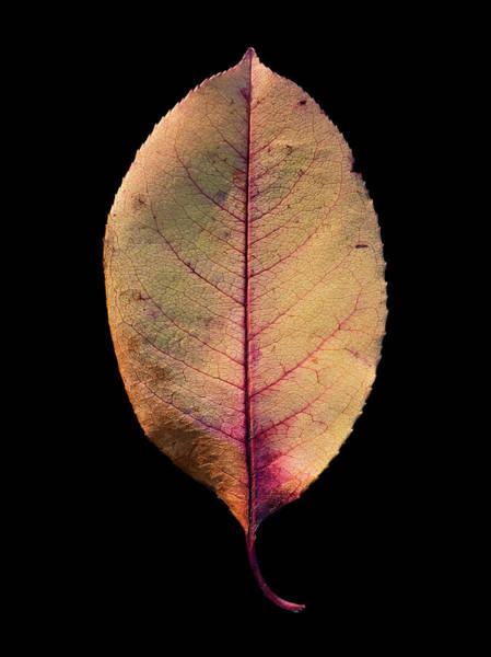 Photograph - Leaf 26 by David J Bookbinder