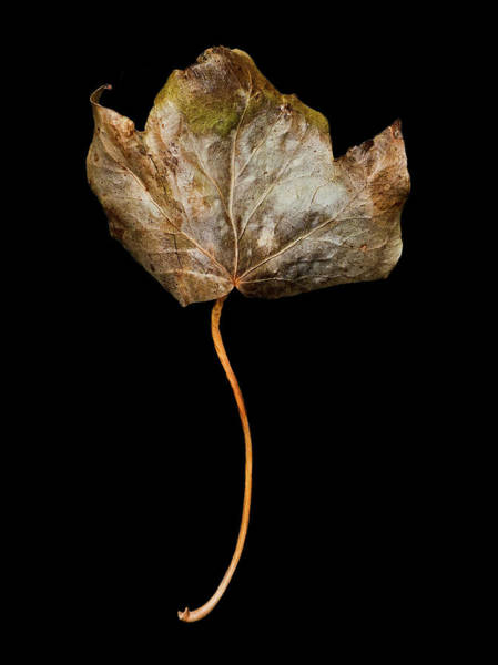 Photograph - Leaf 3 by David J Bookbinder