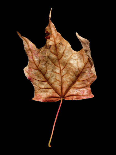 Photograph - Leaf 4 by David J Bookbinder