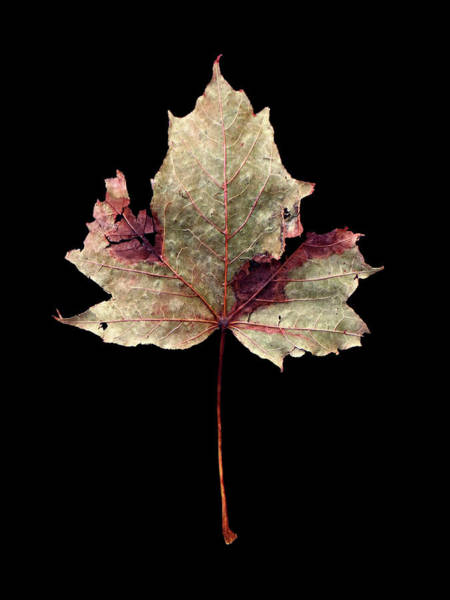Photograph - Leaf 7 by David J Bookbinder