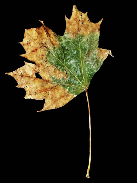 Photograph - Leaf 9 by David J Bookbinder