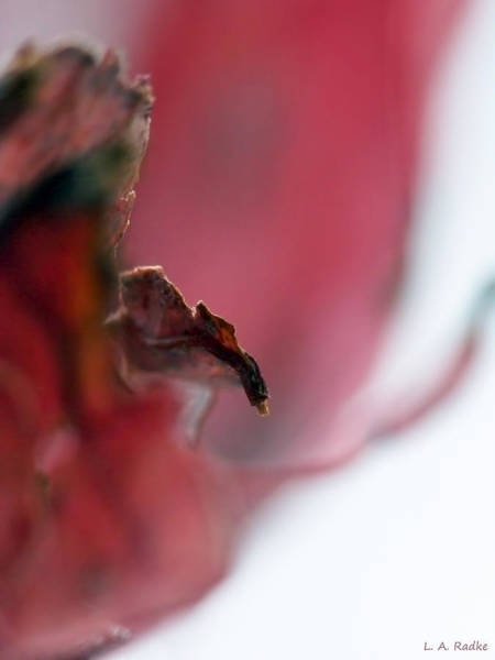 Photograph - Leaf Abstract II by Lauren Radke