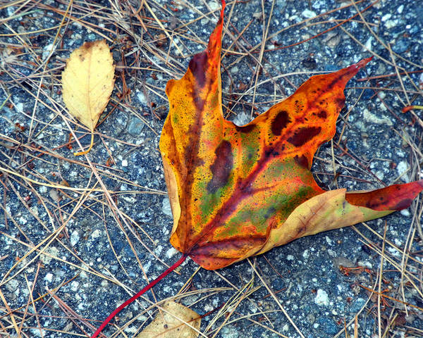 Photograph - Leaf Aglow by Lynda Lehmann