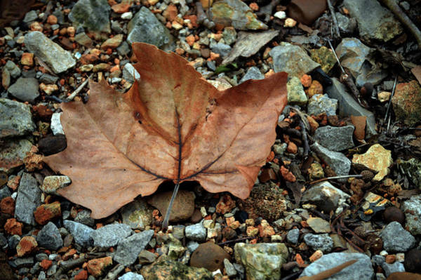 Photograph - Leaf And Pebbles by Lesa Fine