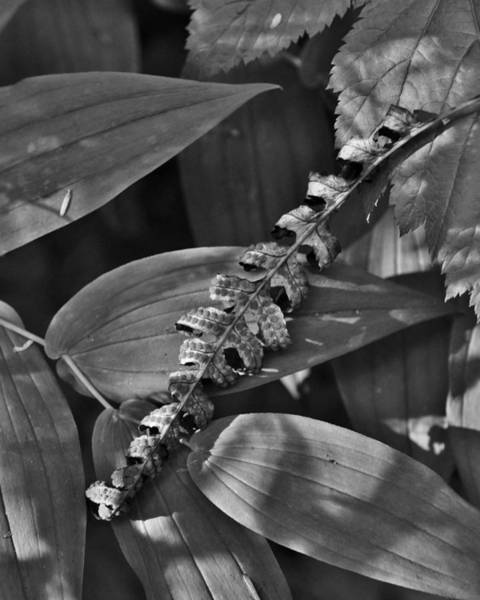 Photograph - Leaf And Sunlight by Charles Lucas