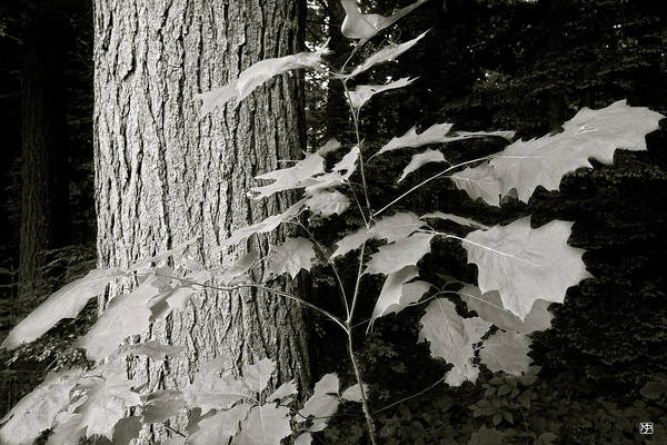 Photograph - Leaf And Tree by John Meader