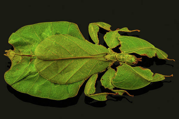 Photograph - Leaf Bug by Gary Shepard