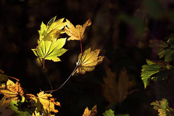 Photograph - Leaf Chiaroscuro by David Lunde