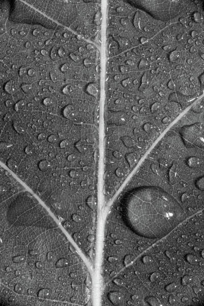 Wall Art - Photograph - Leaf Dew Drop Number 8 Bw by Steve Gadomski