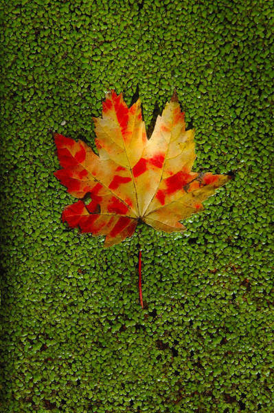 Digital Art - Leaf Floating On Duckweed by Dick Pratt