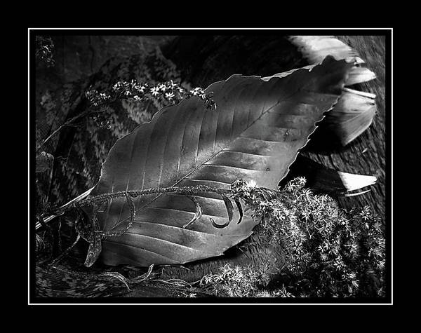 Photograph - Leaf In Black And White by Phyllis Meinke