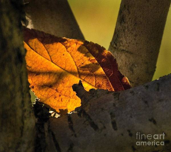 Photograph - Leaf In Fork by Norman Andrus