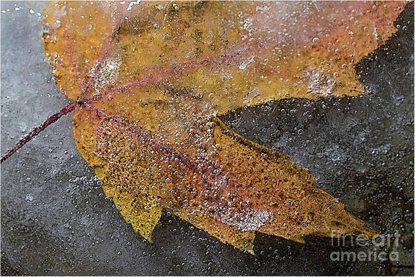 Leaf In Ice 3 Art Print by Jim Wright