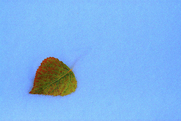 Photograph - Leaf In Snow by Marie Leslie